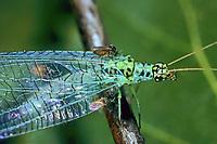 Gnitze, saugt an einer Florfliege, Forcipomyia eques, Gnitzen, Ceratopogonidae