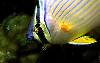 Melon Butterfly Fish, New Guinea