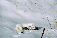 Long-tailed Weasel (Mustela frenata) with pocket gopher.  Winter.  Northern Plains.