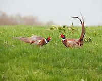 Cock pheasants, Whitewell, Lancashire.