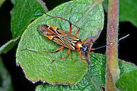 Prachtwanze, Pracht-Wanze, Gestreifte Weichwanze, Miris striatus, Fine streaked bugkin, Weichwanze, Weichwanzen, Miridae, Plant Bugs