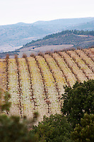 Vines on The Pech Bedet mountain hill between Embres et Castelmaure and Villeneuve les Corbieres on the border between Fitou and Corbieres. Les Corbieres. Languedoc. Vines trained in Gobelet pruning. France. Europe. Vineyard.