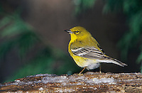Pine Warbler, Dendroica pinus, male on log with ice, Burlington, North Carolina, USA