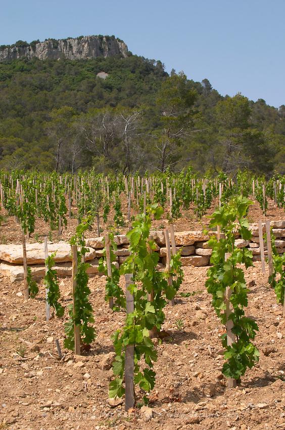 Domaine Clos Marie. Pic St Loup. Languedoc. Carignan grape vine variety. Calcaire ebouilli, calcareous compacted soil type. France. Europe. Vineyard. Calcareous limestone.