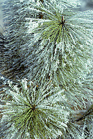 Hoarfrost on Ponderosa Pine. Near Elmira, Oregon.