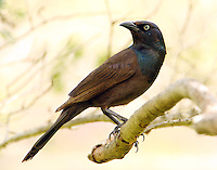 Adult male common grackle