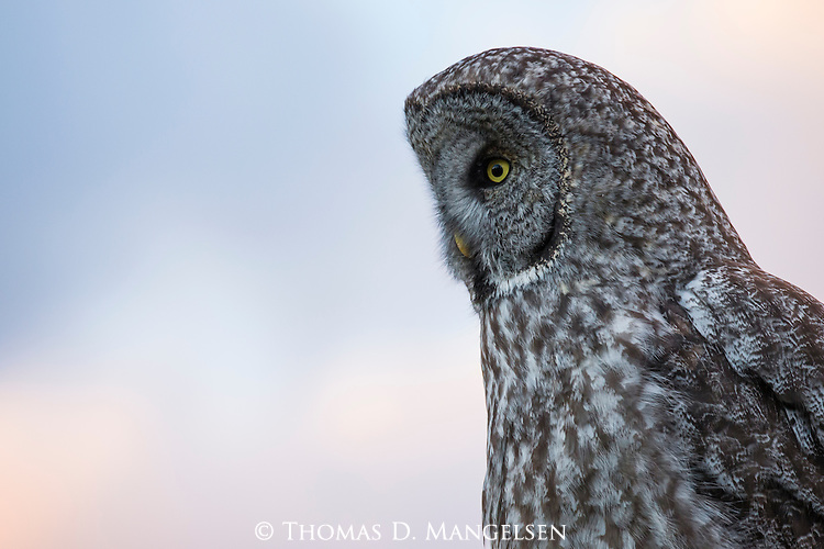 A great gray owl surveys the land as he hunts in Jackson Hole, Wyoming.
