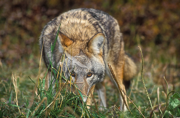 Eastern Coyote (Canis latrans thamnos). Nova Scotia, Canada.  As the coyote migrated east, it bred with wolves and dogs to become a bigger, stronger sub-species.