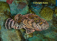 "TP11-539z   Spotted Scorpion Fish swimming ""Venomous Spines on Fish"" - Scorpaena plumieri"