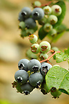 Blueberries ripening.