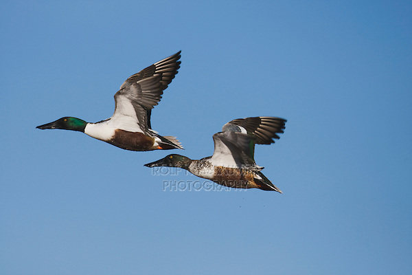 Northern Shoveler (Anas clypeata), adult and immature males in flight, Bosque del Apache National Wildlife Refuge , New Mexico, USA,