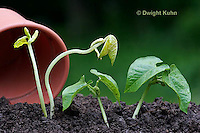 HS69-504z  Bean Seedlings, Plants grown in light [right],  Plants grown in complete darkness [left]