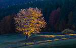 Fall color, Bucovina, Romania, European beech