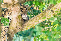 an adult jaguar, Panthera onca, sleeping in a tree on the Rio Tres Irmao, Mato Grosso, Brazil, South America