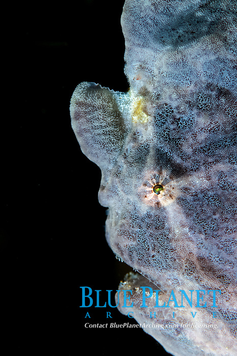 painted frogfish or spotted frogfish, Antennarius pictus, Philippines, Pacific Ocean