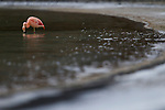Chilean Flamingo (Phoenicopterus chilensis) filter-feeding in saline lake, Amarga Lagoon, Torres del Paine National Park, Patagonia, Chile