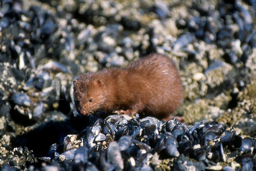 A mink searches a blue muscle bed at low tide on Admiralty Island in southeast Alaska.
