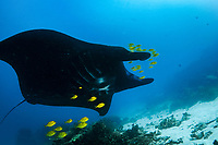 Reef Manta Ray, Manta alfredi, with school of Golden Trevallies, Gnathanodon speciosus, Manta Sandy dive site, Arborek, Dampier Straits, Raja Ampat, West Papua, Indonesia