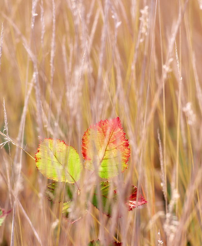 Fall colored leaves of blackberries in tall grass. Near Alpine, Oregon.