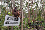 Bornean Orangutan (Pongo pygmaeus wurmbii) - Camp Leakey feeding platform.