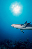 Caribbean reef shark, Carcharhinus perezii, New Providence, Bahamas, Caribbean Sea, Atlantic Ocean
