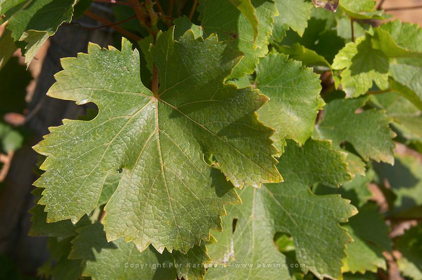 Vine leaf. Chenin Blanc. Vouvray village, Touraine, Loire, France