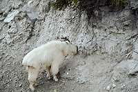 Mountain Goat using a natural mineral lick in Northern Rocky Mountains.  Spring.