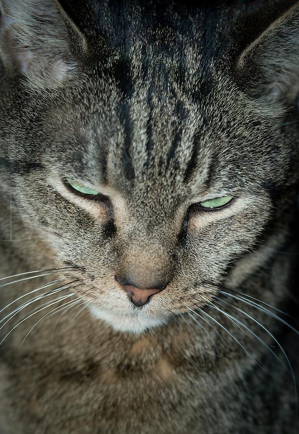 Serious tabby cat portrait.