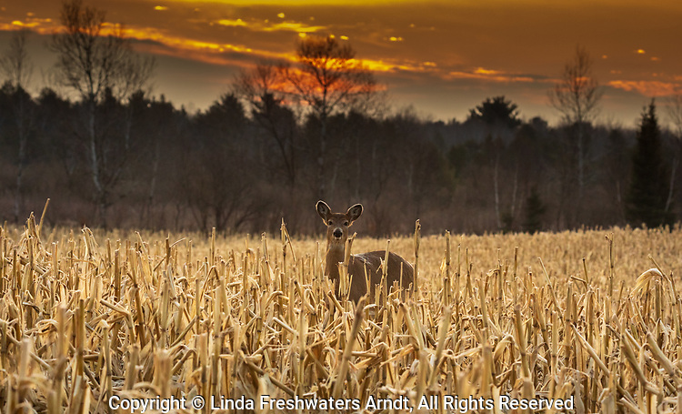White-tailed fawn in a cut cornfield at sunrise.