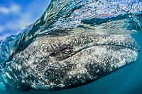 gray whale, Eschrichtius robustus, San Ignacio Lagoon, Baja California Sur, Mexico, Gulf of California, Sea of Cortez, Pacific Ocean