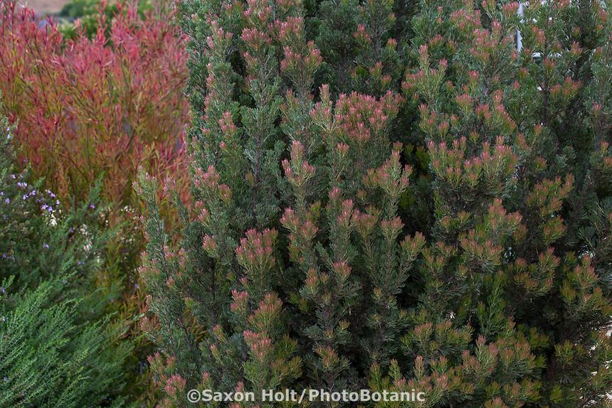 Adenanthos x cunninghamii - Albany Woollybush Australian shrub in Southern California garden
