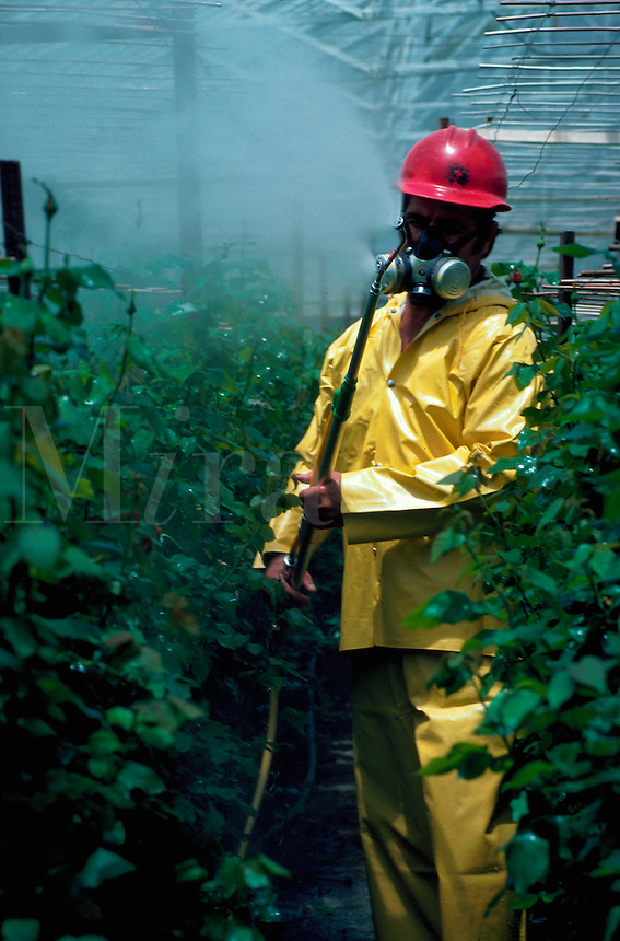 Worker spraying roses in greenhouse