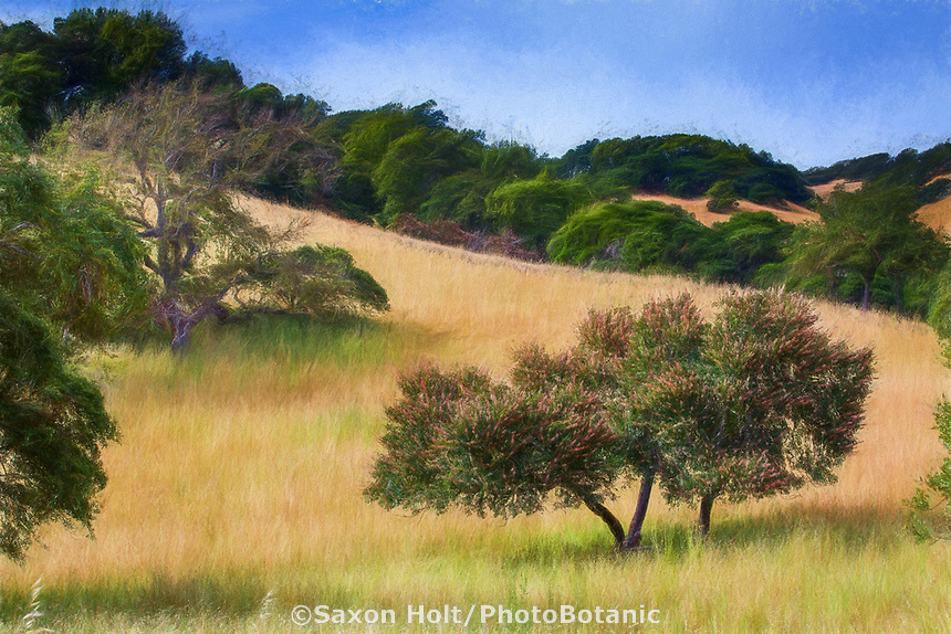 Artistic rendering - Aesculus californica - Buckeye Tree, California native plant flowering in Mount Burdell State Park