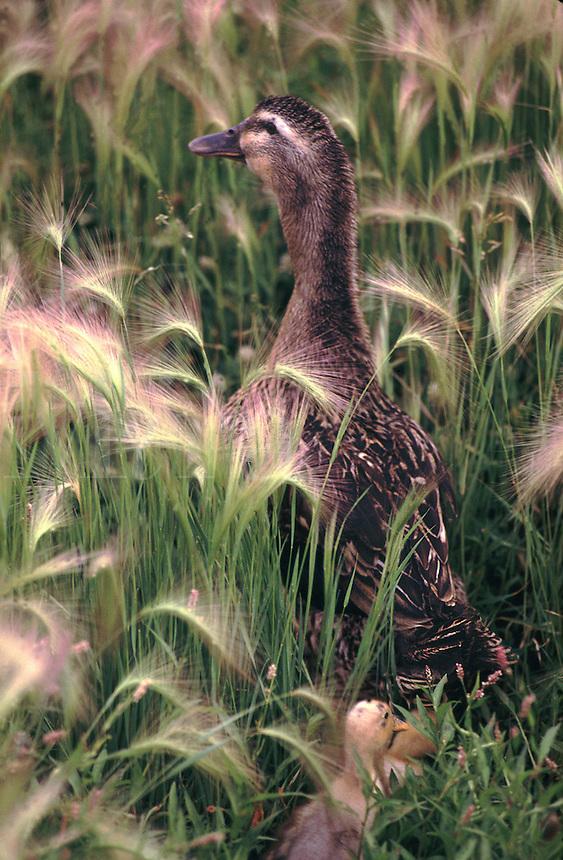 A goose walks through tall grass as a gosling walks behind.
