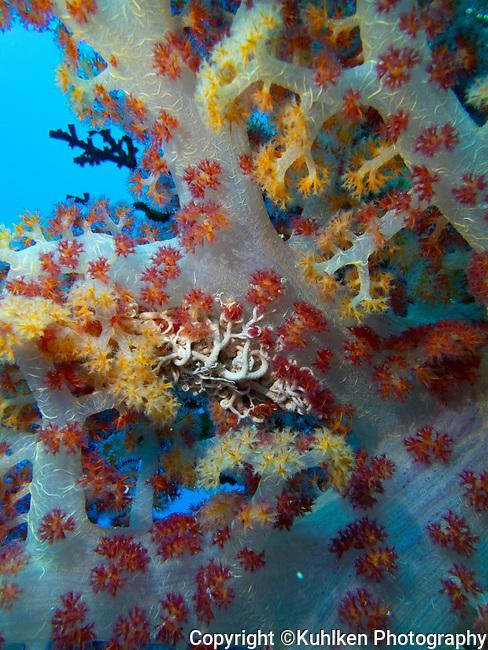 Basket Star on soft coral, Palau 2018