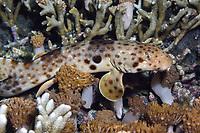 Indonesian speckled carpetshark, Raja Ampat epaulette shark, or Raja Ampat walking shark, Hemiscyllium freycineti, endemic, Raja Ampat, West Papua, Indonesia, Halmahera Sea, Indo-Pacific Ocean