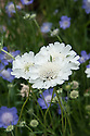 Scabiosa caucasia perfecta 'Alba', early August.
