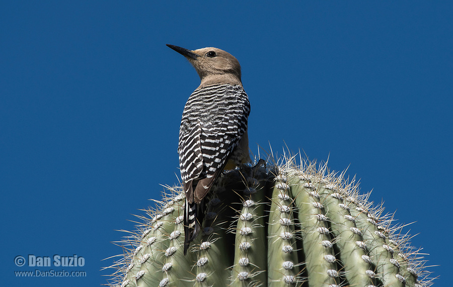 A female Gila Woodpecker, Melanerpes uropygialis, perches on a Saguaro cactus, Carnegiea gigantea, at the Arizona-Sonora Desert Museum, near Tucson, Arizona