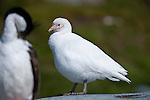 Pale-faced Sheathbill (Chionis alba). Gold Harbour, South Georgia, South Atlantic.