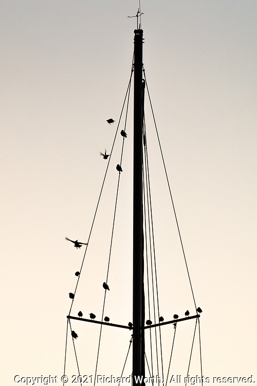 Birds cling to and fly about the upper rigging of a sail boat - silhouettes on a late winter afternoon.