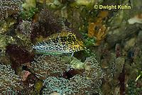 TP16-515z  Diamond Blenny Fish, Malacoctenus boehlkei