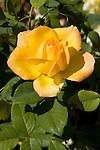 GOLD MEDAL ROSE, ROSA 'GRANDIFLORA'