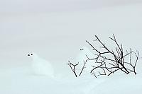 White-tailed Ptarmigan (Lagopus leucurus) in winter plumage, Northern Rockies