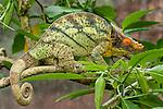 Male Parson's Chameleon (Calumma parsonii) in rainforest understorey. Ranomafana National Park, Madagascar.