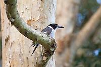 Grey Butcherbird, Neranie Bay, Myall Lakes, NSW, Australia
