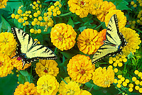 two swallowtails butterflies on marigolds, Midwest USA