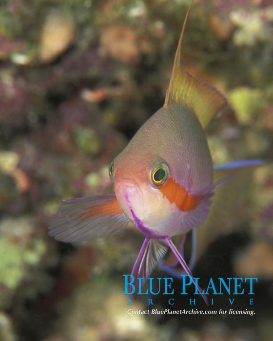 threadfin anthias, Pseudanthias huchtii, PNG