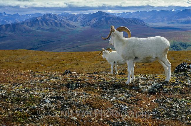 Dall Sheep (Ovis dalli) and Alaska Range. Denali National Park, Alaska. September.