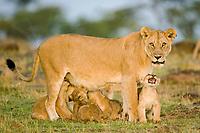 Lion family (Panthera leo), Masai Mara, Kenya, Africa