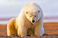 polar bear, Ursus maritimus, mother, Barter Island, Arctic National Wildlife Refuge, Alaska, polar bear, Ursus maritimus